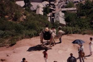 Camel at Great Wall