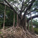 Banyan trees in Hong Kong